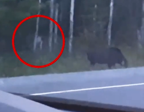 creature stalks moose